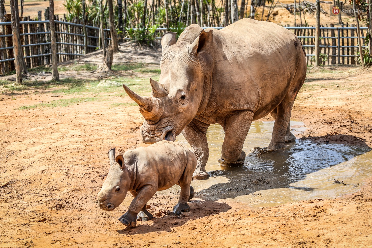The closure of two rare white rhinos were born in Vietnam for the past decade - Photo 3.