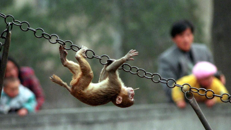 Khoa học tạo ra những con khỉ với não bộ phát triển như người: kịch bản