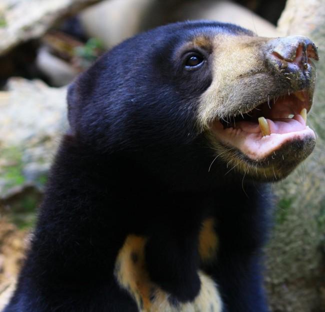 Loài gấu này có thể bắt chước biểu cảm khuôn mặt như con người và loài vượn