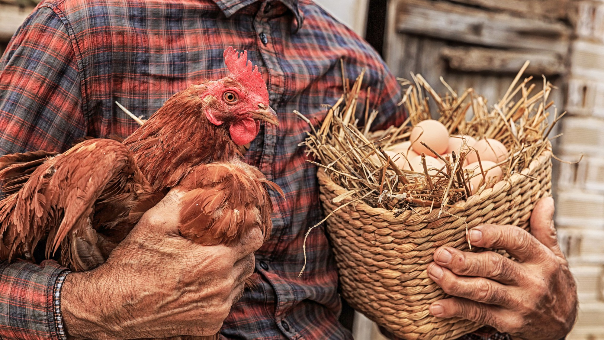 Trứng có trước hay gà có trước? Đáp án cho câu hỏi kinh điển này hóa ra không giống như bạn nghĩ - Ảnh 1.