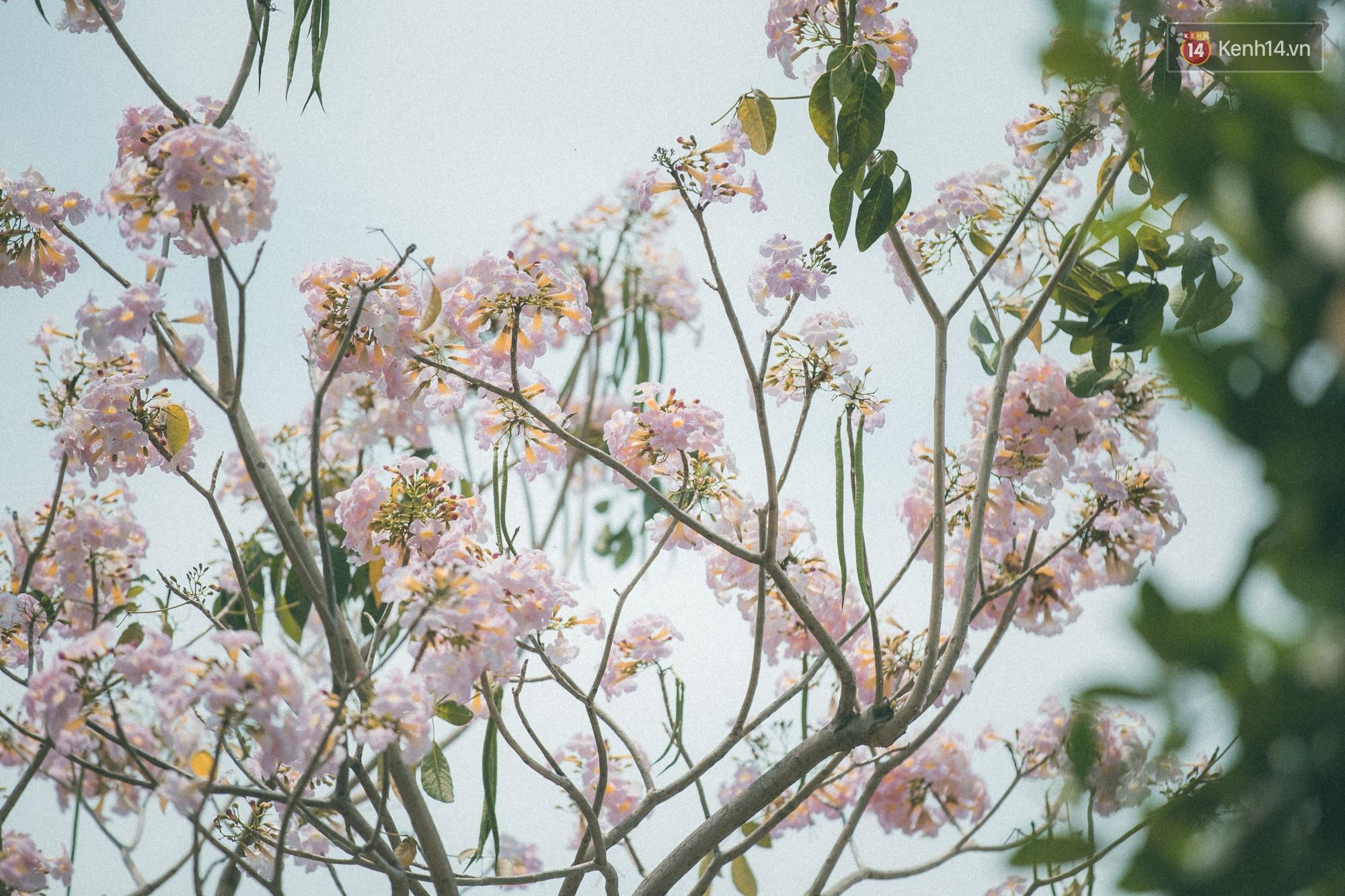 Sài Gòn mùa hoa kèn hồng: dịu dàng và dễ thương đến lạ! - Ảnh 1.