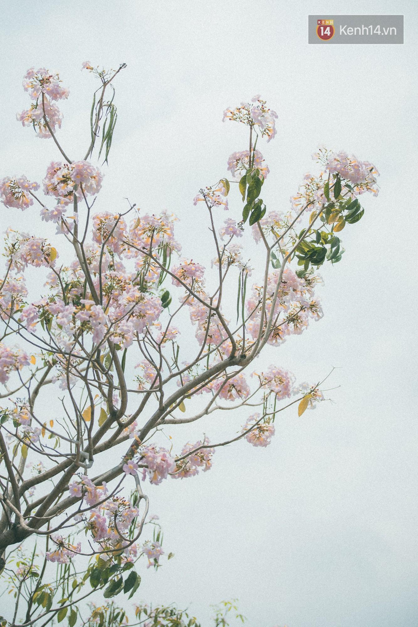 Sài Gòn mùa hoa kèn hồng: dịu dàng và dễ thương đến lạ! - Ảnh 10.