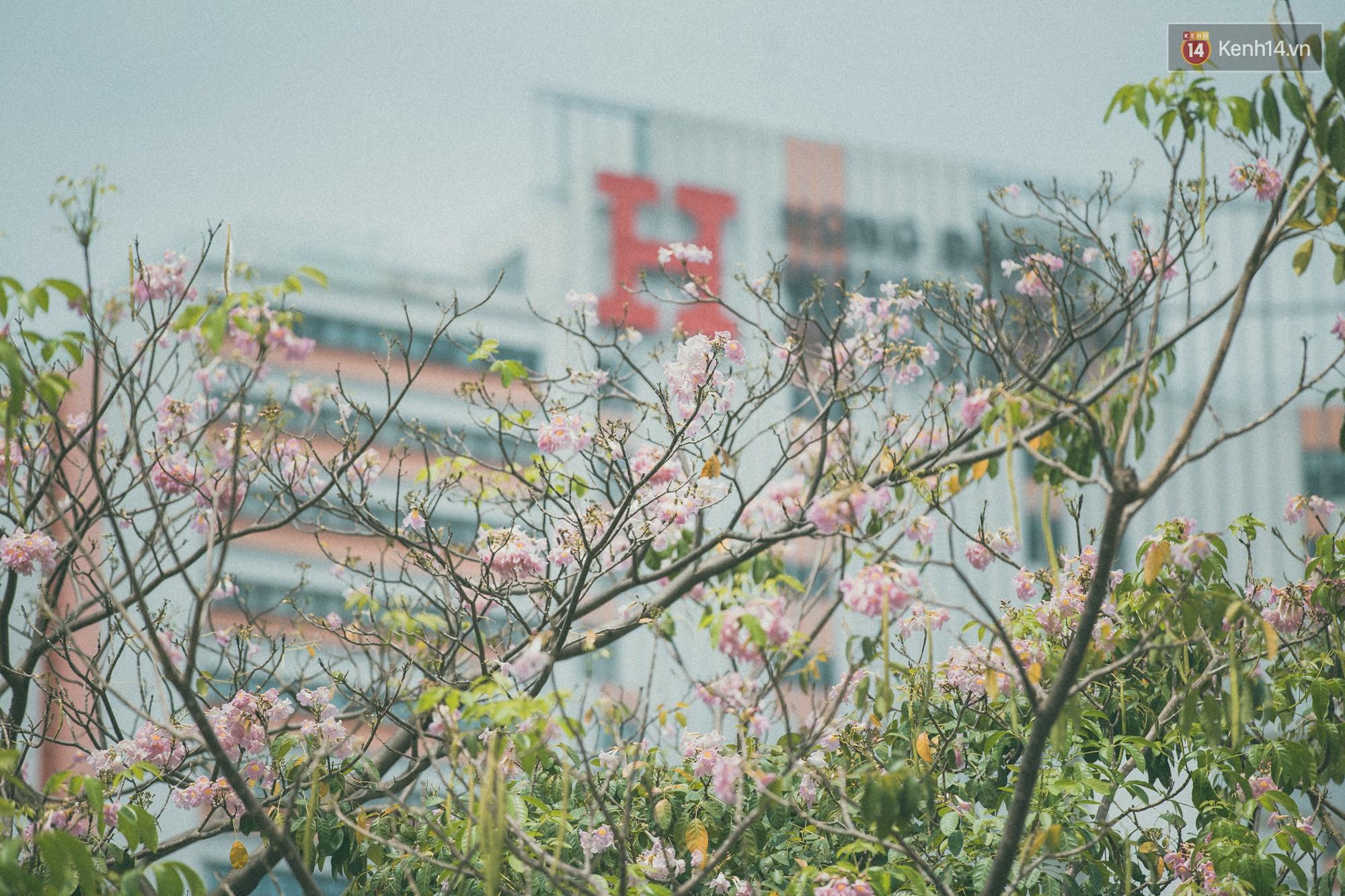 Sài Gòn mùa hoa kèn hồng: dịu dàng và dễ thương đến lạ! - Ảnh 3.