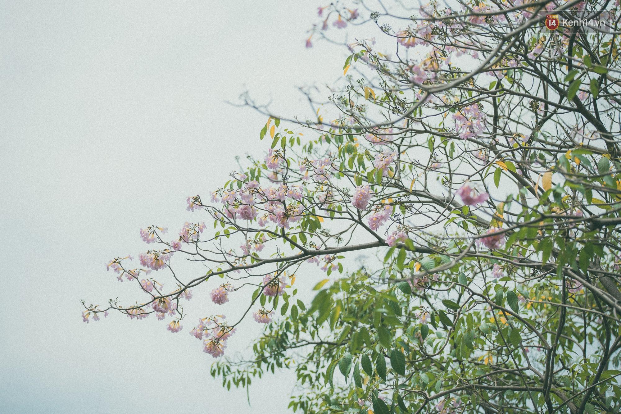 Sài Gòn mùa hoa kèn hồng: dịu dàng và dễ thương đến lạ! - Ảnh 12.