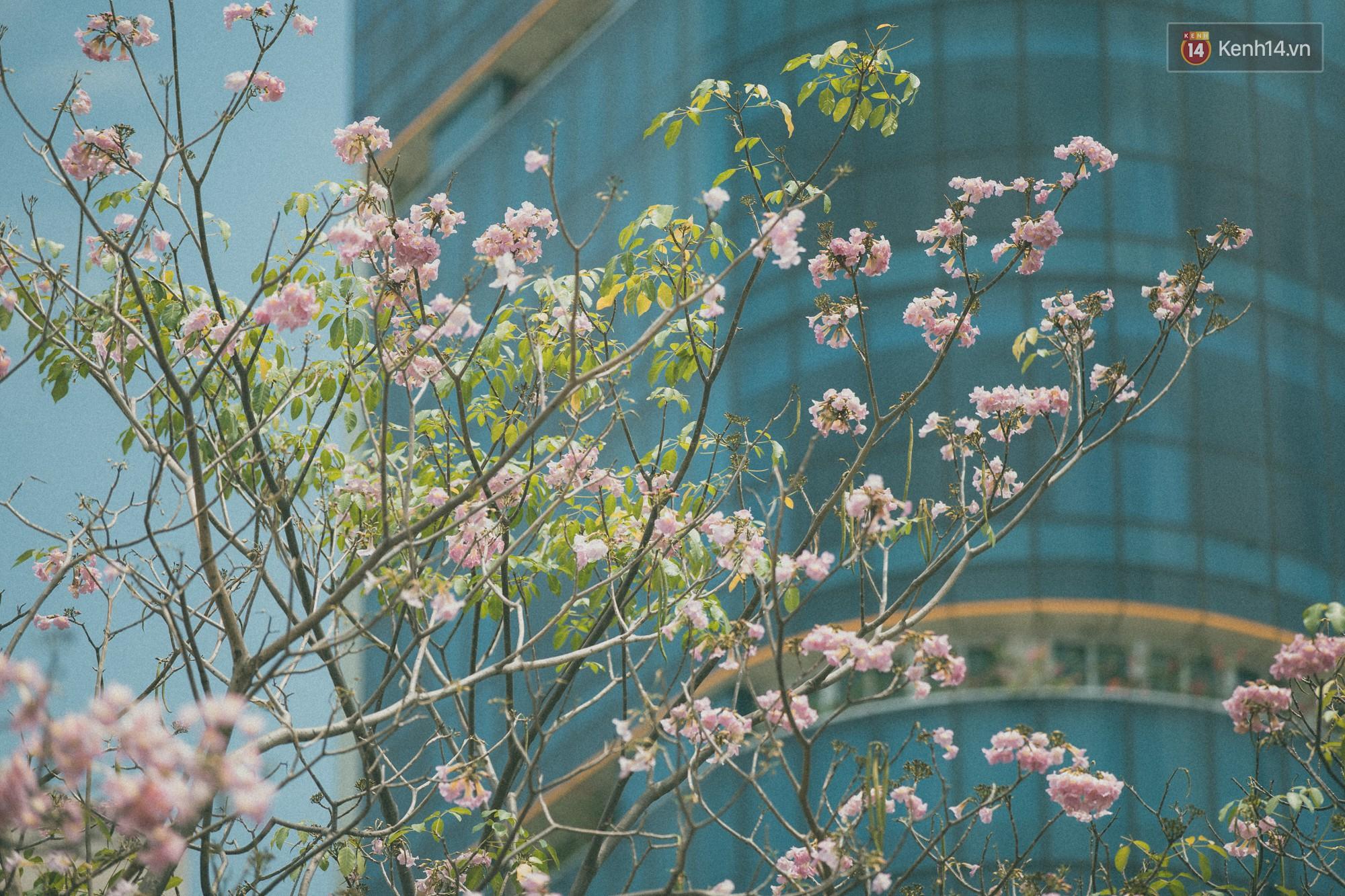 Sài Gòn mùa hoa kèn hồng: dịu dàng và dễ thương đến lạ! - Ảnh 14.