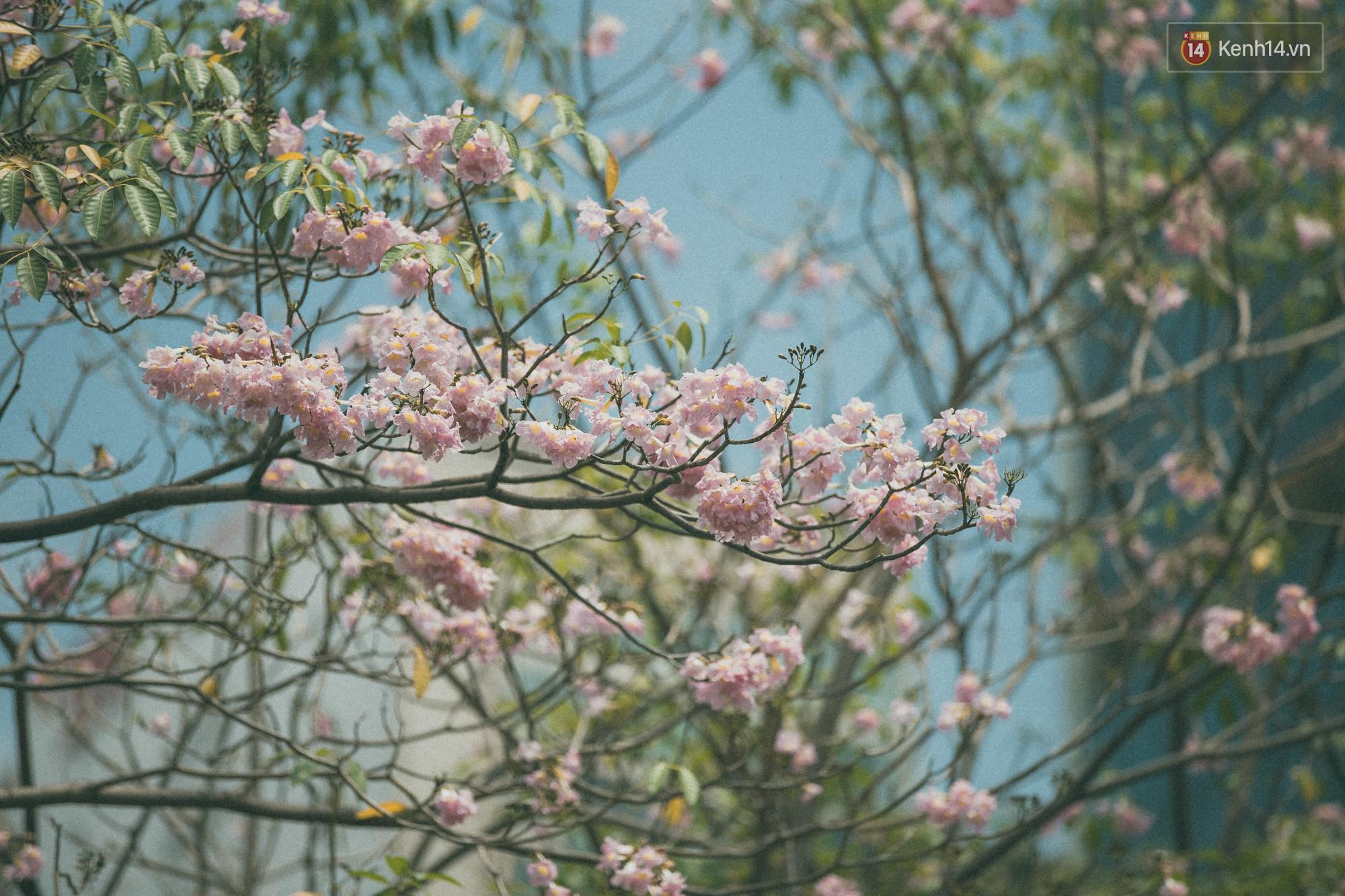 Sài Gòn mùa hoa kèn hồng: dịu dàng và dễ thương đến lạ! - Ảnh 8.