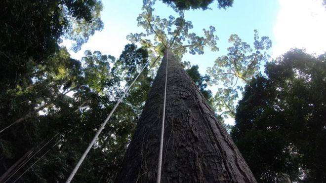 Sợ tê tái là cảm giác khi leo lên cái cây nhiệt đới cao bậc nhất thế giới mà khoa học vừa tìm ra - Ảnh 1.