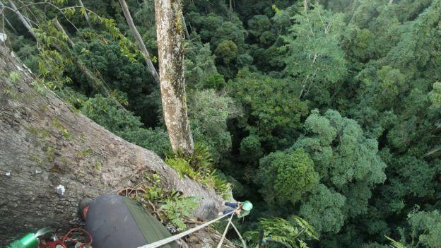 Sợ tê tái là cảm giác khi leo lên cái cây nhiệt đới cao bậc nhất thế giới mà khoa học vừa tìm ra - Ảnh 2.