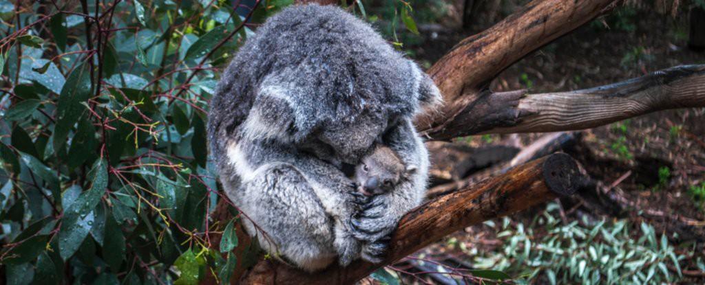 Khoa học tuyên bố gấu koala chính thức tuyệt chủng về chức năng nhưng điều đó có ý nghĩa gì? - Ảnh 1.
