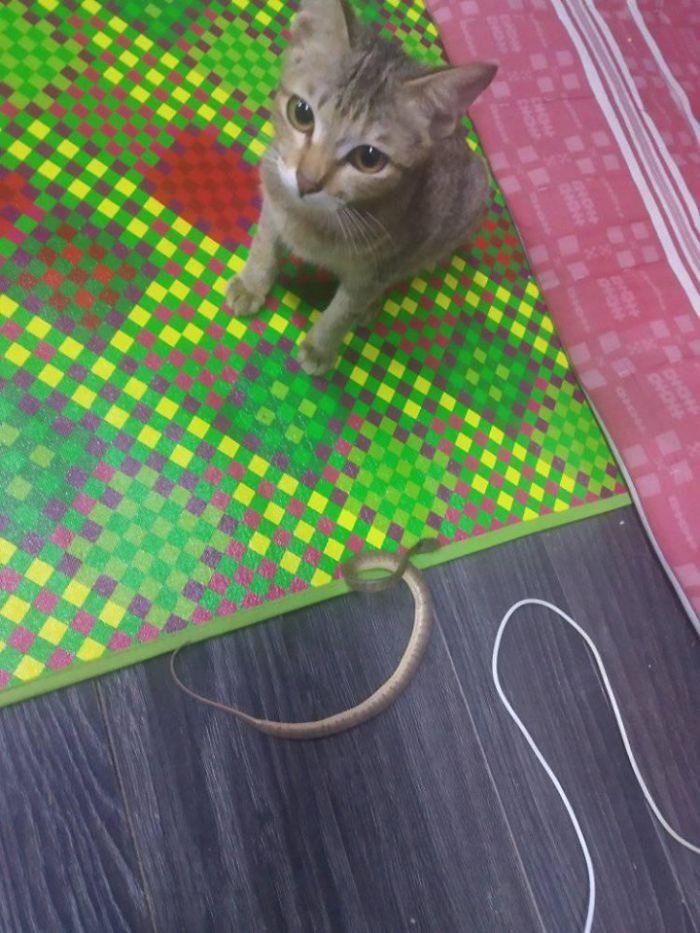 Cắn đứt tai nghe của sen, boss mèo đi bắt con rắn về đền để rồi trở thành ngôi sao MXH - Ảnh 4.