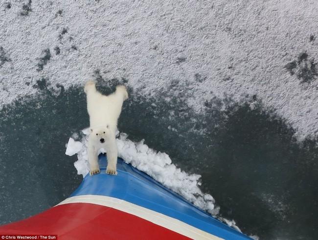 Bức ảnh gấu Bắc Cực hướng ánh mắt vô vọng như cầu xin loài người giữa lớp băng tuyết đang tan dần gây ám ảnh - Ảnh 2.