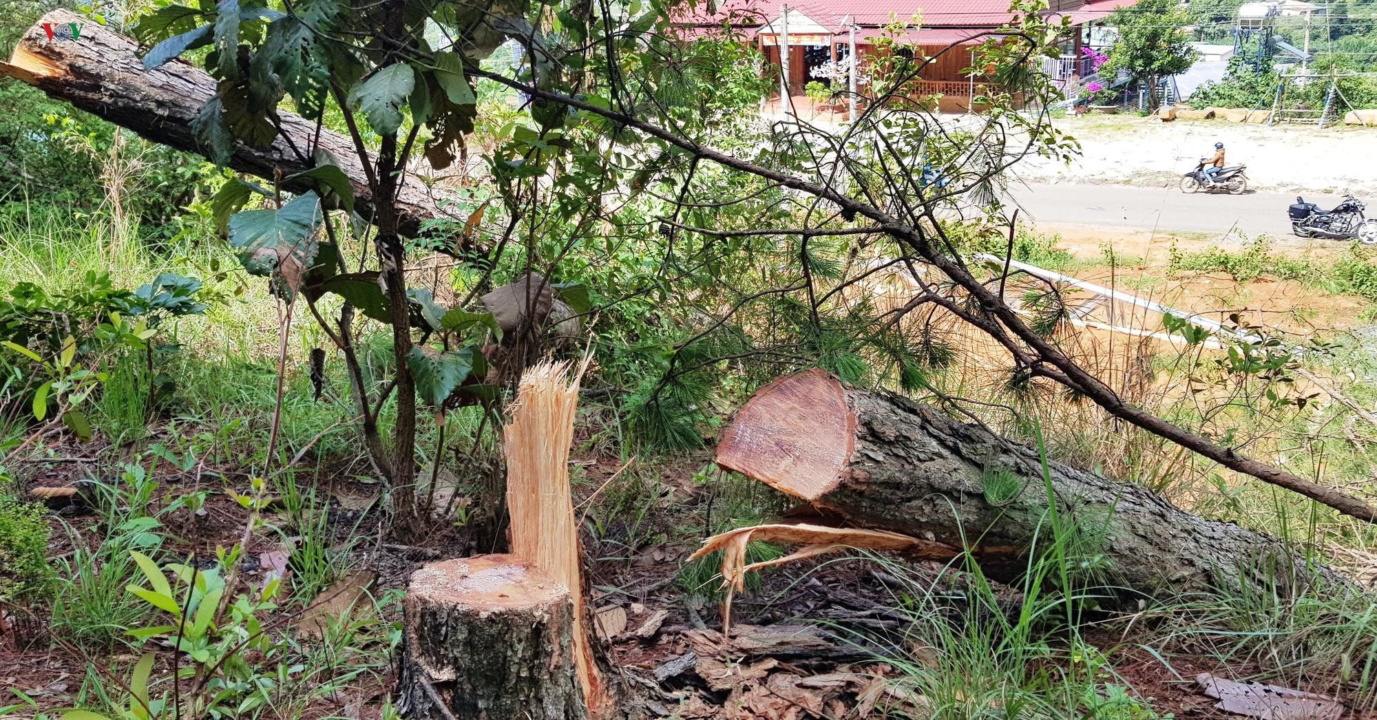 Tiếp tục xảy ra nhiều vụ phá rừng thông ở Lâm Đồng - Ảnh 1.