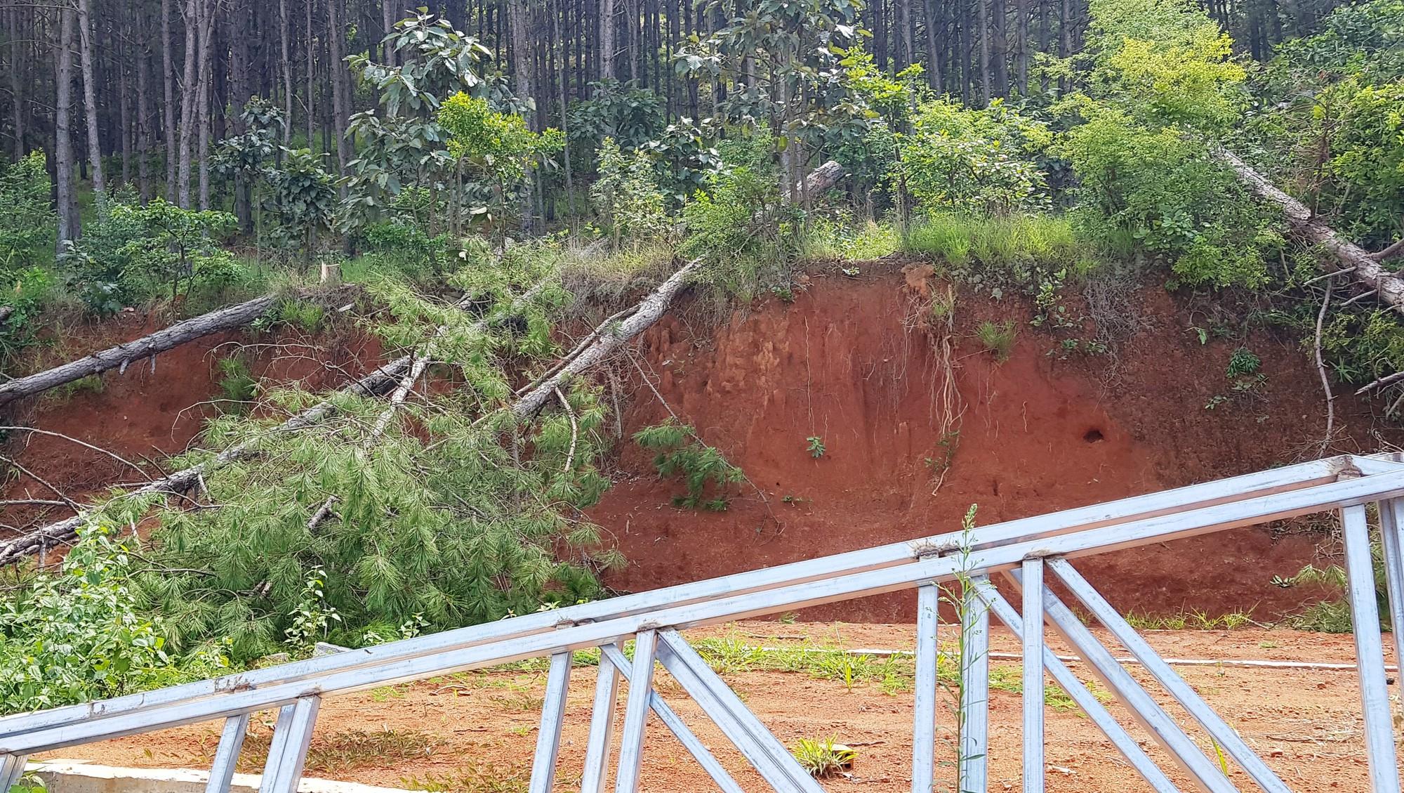 Tiếp tục xảy ra nhiều vụ phá rừng thông ở Lâm Đồng - Ảnh 2.