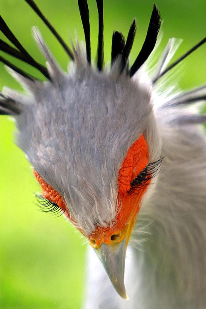 Đây là loài chim có hàng mi khiến chị em ghen tỵ - Ảnh 1.