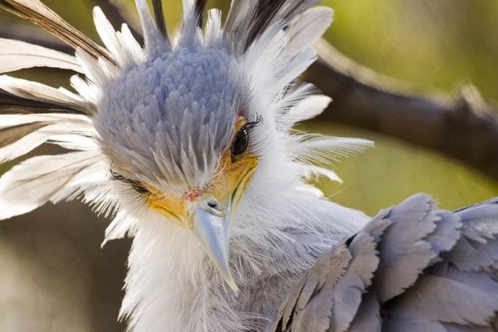 Đây là loài chim có hàng mi khiến chị em ghen tỵ - Ảnh 2.