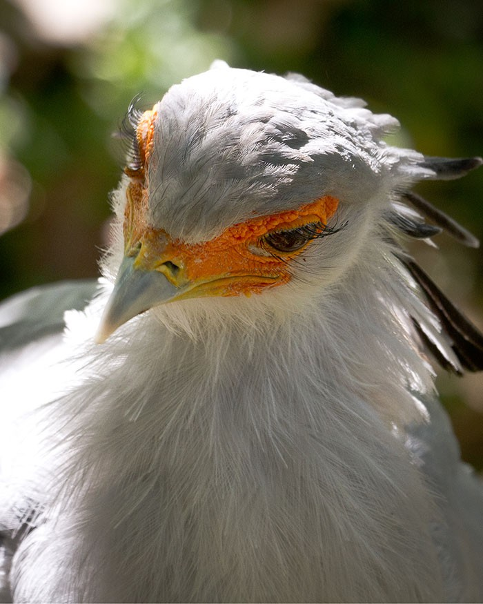 Đây là loài chim có hàng mi khiến chị em ghen tỵ - Ảnh 5.