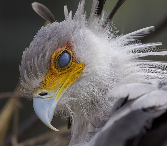 Đây là loài chim có hàng mi khiến chị em ghen tỵ - Ảnh 6.