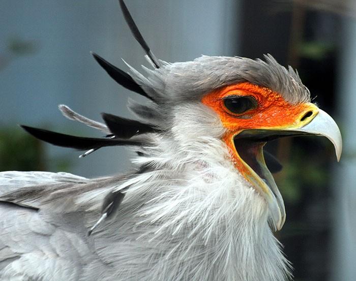 Đây là loài chim có hàng mi khiến chị em ghen tỵ - Ảnh 12.