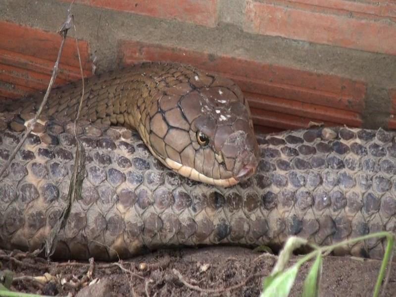 Cận cảnh cặp rắn hổ mây khủng nặng 60kg, dài 7m đầu to bằng nửa cục gạch vừa bắt được ở chân núi Cấm - Ảnh 3.
