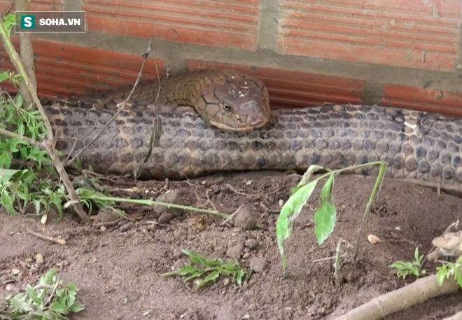 Thông tin mới về số phận của cặp rắn khủng nặng 60kg, dài hơn 6m vừa bắt được dưới chân núi Cấm - Ảnh 4.