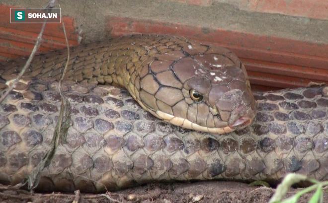 Thông tin mới về số phận của cặp rắn khủng nặng 60kg, dài hơn 6m vừa bắt được dưới chân núi Cấm - Ảnh 5.