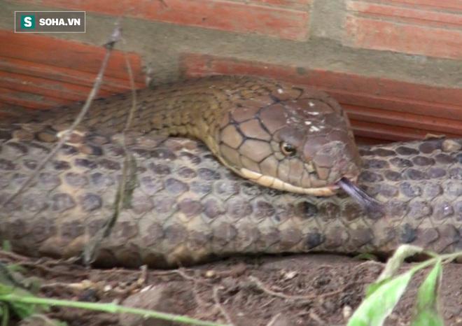 Thông tin mới về số phận của cặp rắn khủng nặng 60kg, dài hơn 6m vừa bắt được dưới chân núi Cấm - Ảnh 6.