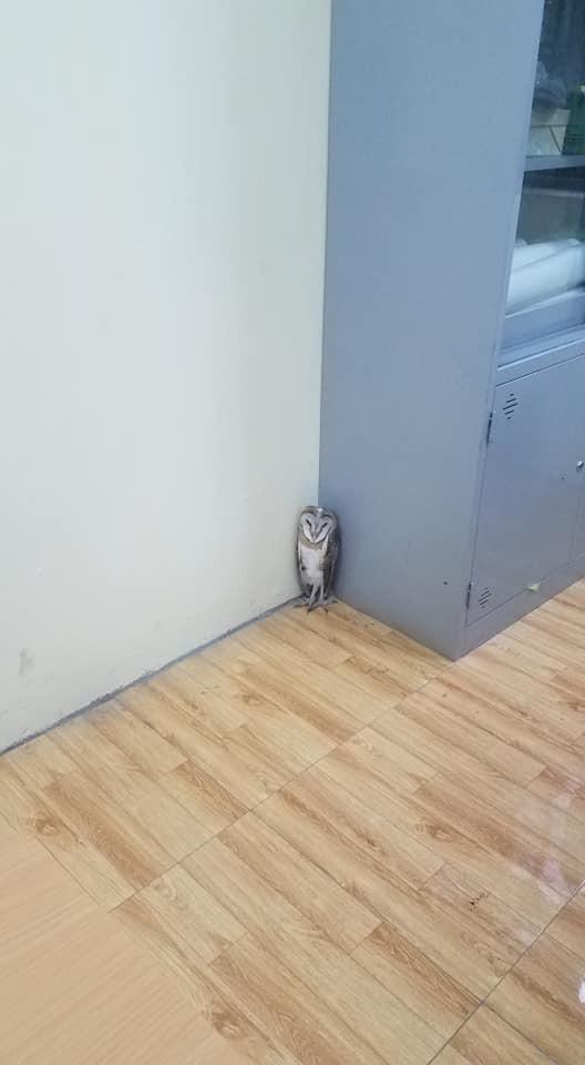 Chim cú lợn bay nhầm vào lớp học: Được phong làm giám thị, thậm chí còn được liên tưởng là thú cưng trong Harry Potter - Ảnh 3.