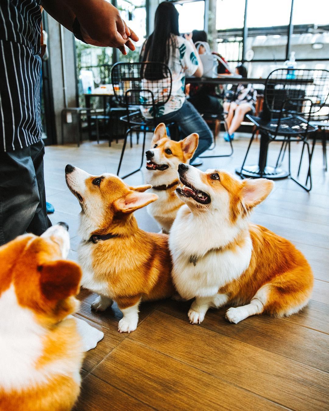 Siêu cấp dễ thương: Quán cà phê chó corgi nổi tiếng nhất Bangkok khiến dân tình phát sốt, con nào con nấy cũng ú nu ú nần - Ảnh 13.