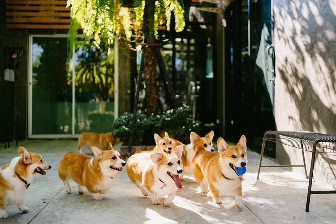 Siêu cấp dễ thương: Quán cà phê chó corgi nổi tiếng nhất Bangkok khiến dân tình phát sốt, con nào con nấy cũng ú nu ú nần - Ảnh 1.