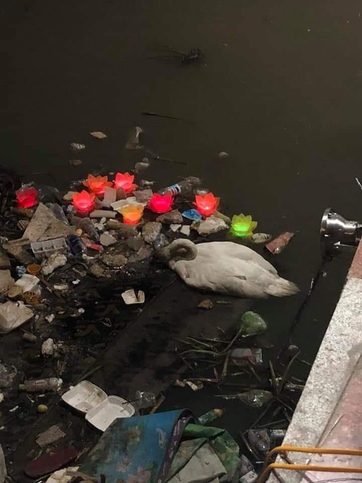 Hải Phòng: Thiên nga trắng dưới sông Tam Bạc vùng vẫy rồi gục giữa bãi rác khiến nhiều người xót xa và phẫn nộ - Ảnh 5.