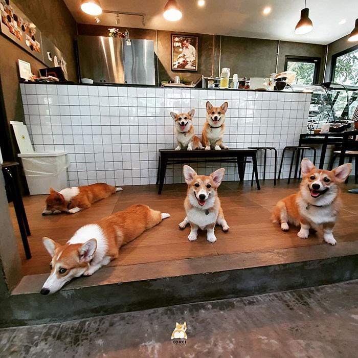 Ngắm nghía quán cà phê chó Corgi ở Thái Lan đang khiến cả MXH phát cuồng vì đáng yêu hết nấc - Ảnh 3.