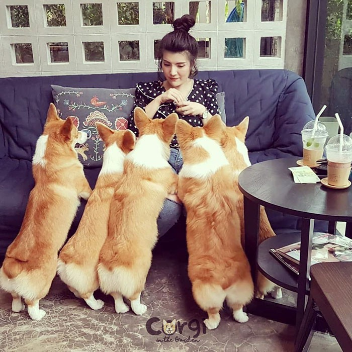 Ngắm nghía quán cà phê chó Corgi ở Thái Lan đang khiến cả MXH phát cuồng vì đáng yêu hết nấc - Ảnh 5.