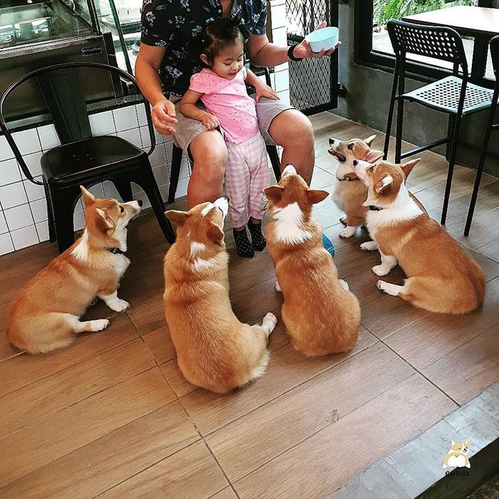 Ngắm nghía quán cà phê chó Corgi ở Thái Lan đang khiến cả MXH phát cuồng vì đáng yêu hết nấc - Ảnh 6.