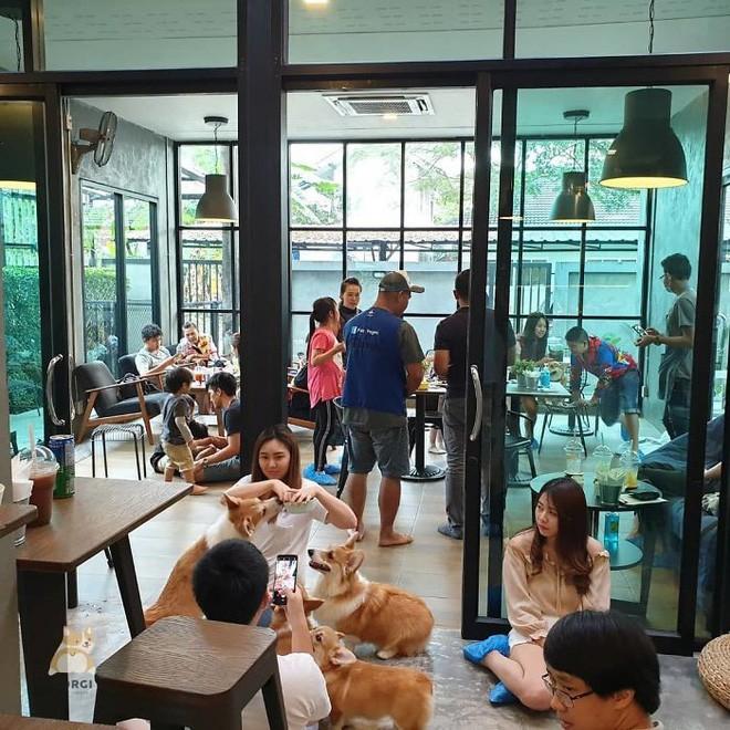 Ngắm nghía quán cà phê chó Corgi ở Thái Lan đang khiến cả MXH phát cuồng vì đáng yêu hết nấc - Ảnh 10.