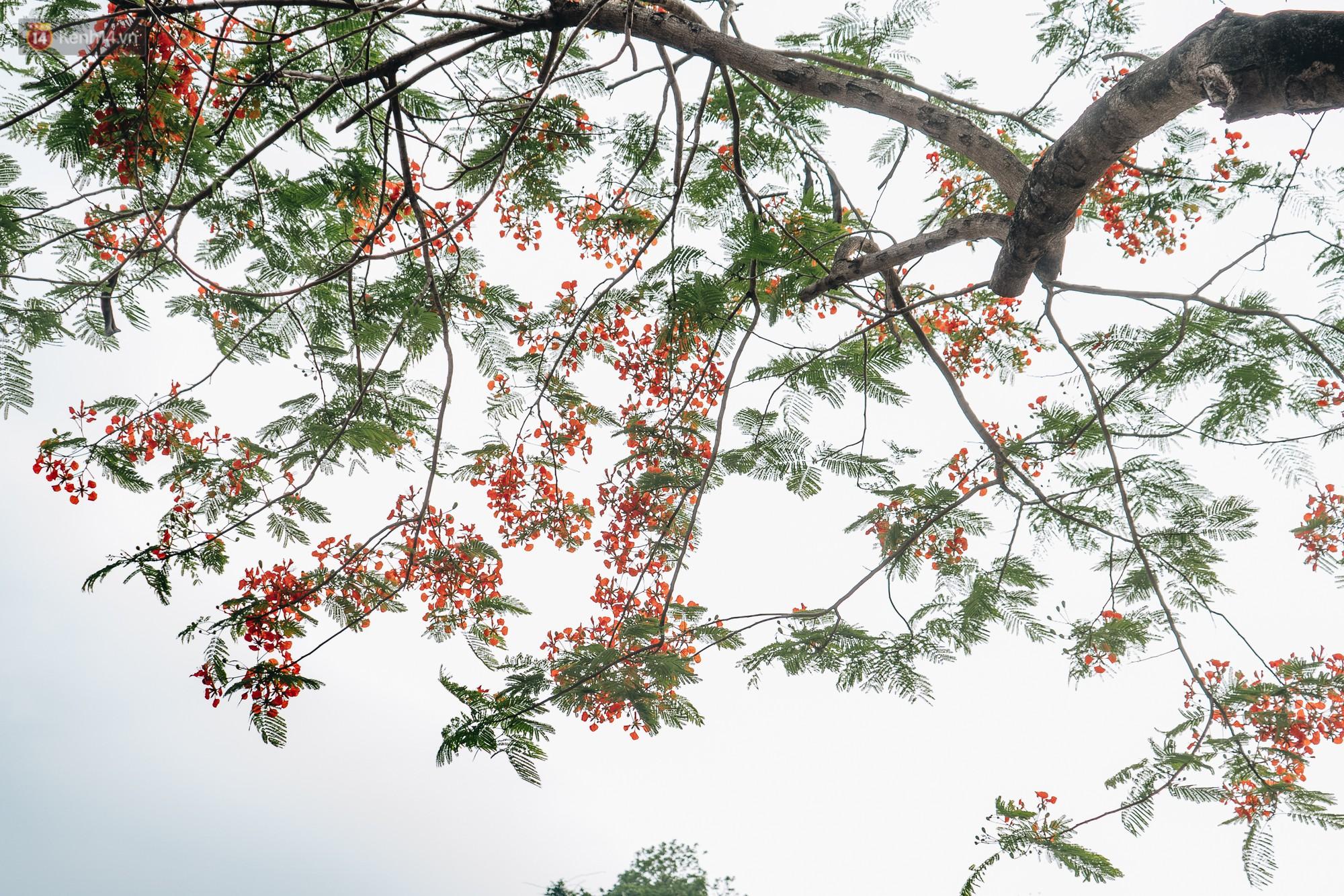 Chùm ảnh: Hà Nội và bản tình ca của những loài hoa mùa hạ thay nhau khoe sắc trên phố - Ảnh 1.
