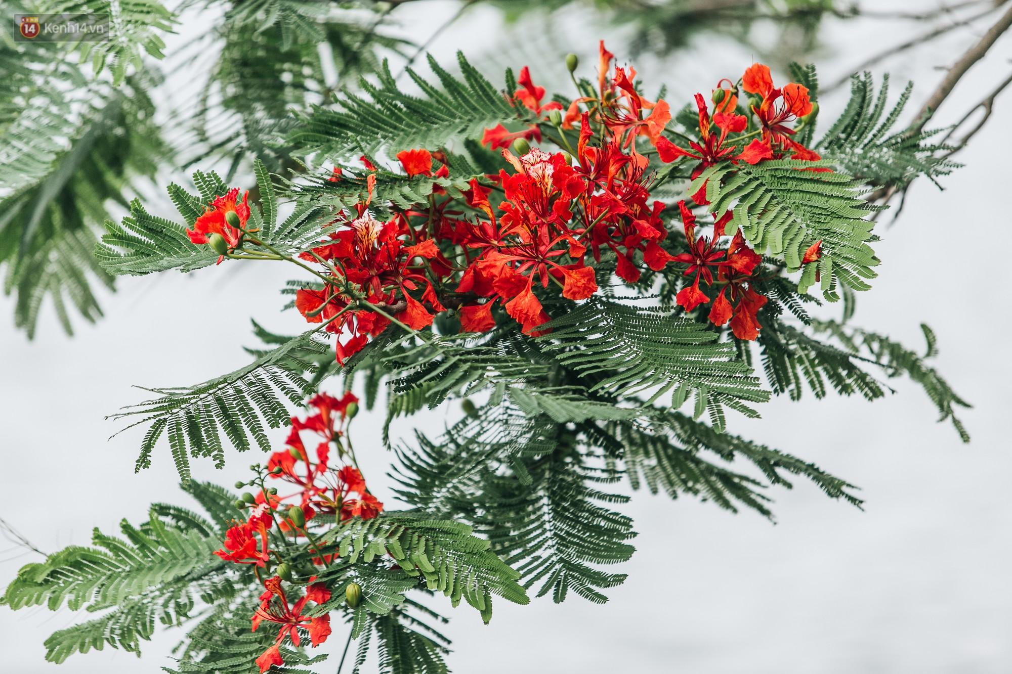 Chùm ảnh: Hà Nội và bản tình ca của những loài hoa mùa hạ thay nhau khoe sắc trên phố - Ảnh 5.