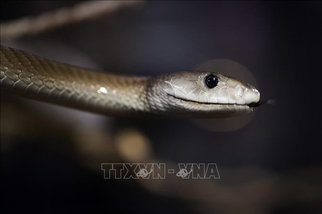 200 người thiệt mạng mỗi ngày do bị rắn độc cắn trên toàn thế giới - Ảnh 1.