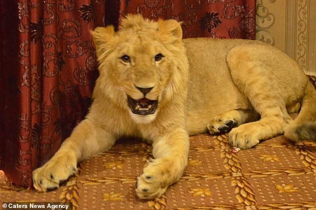 Gia đình Pakistan nuôi sư tử như thú cưng, mặc cho hàng xóm e ngại vẫn khẳng định nó không cắn đâu - Ảnh 4.