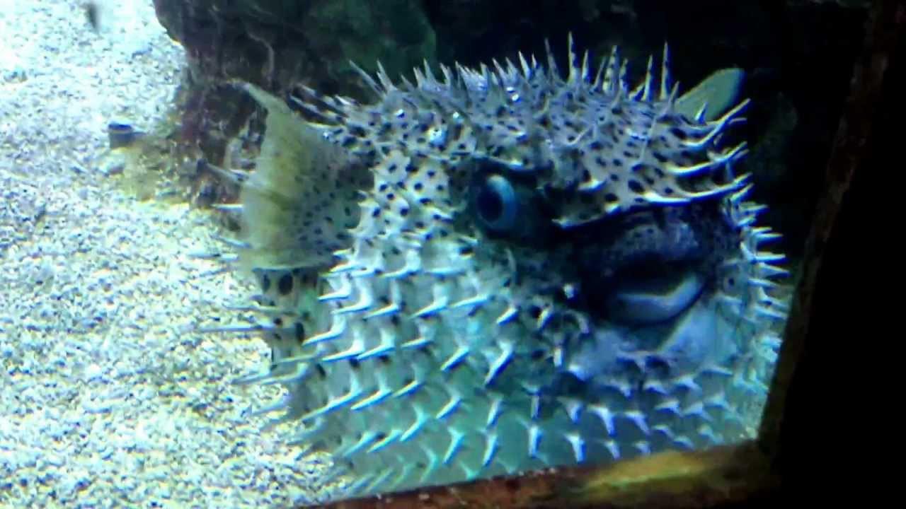 Hóa ra chúng ta đang có hiểu lầm rất lớn về cách loài cá nóc phình lên như quả bóng - Ảnh 3.