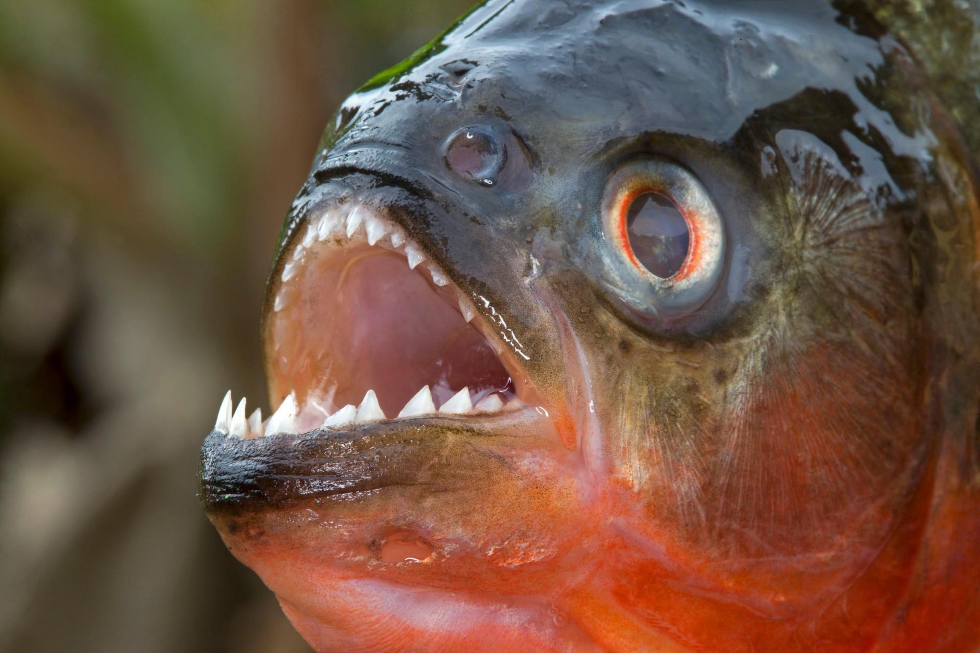 Loài người thực sự nợ cá Piranha khét tiếng Amazon một lời xin lỗi: chúng đáng sợ là do con người - Ảnh 1.
