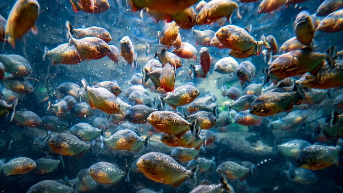 Loài người thực sự nợ cá Piranha khét tiếng Amazon một lời xin lỗi: chúng đáng sợ là do con người - Ảnh 5.
