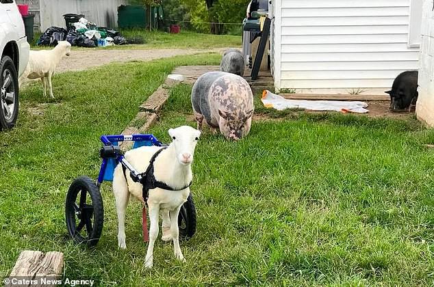 Cưu mang chú cừu khuyết tật hết 900 triệu, đôi trẻ phải hoãn ngày cưới vì bị vét sạch cả tiền lẫn thời gian - Ảnh 6.