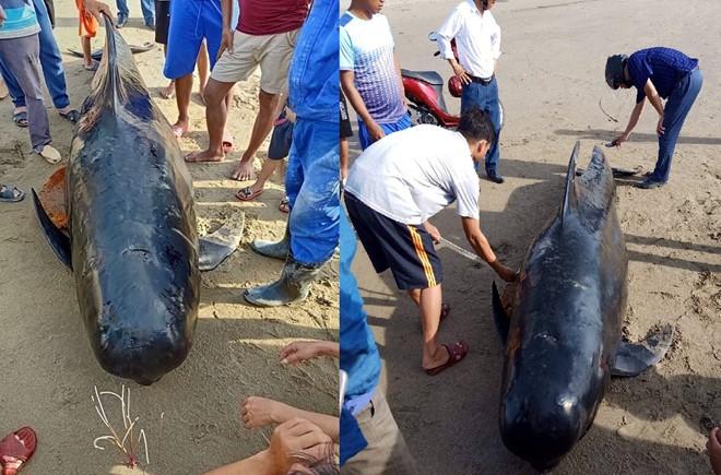 Cá voi gần 1 tấn trôi dạt vào bờ biển Hà Tĩnh - Ảnh 1.
