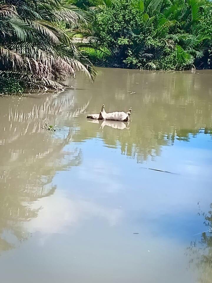 Sài Gòn xuất hiện dịch tả Châu Phi, hơn 160 con lợn bệnh bị tiêu huỷ - Ảnh 1.