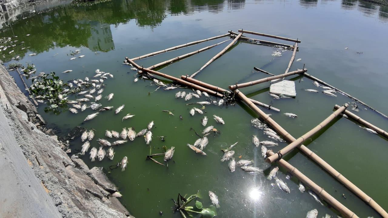 Đà Nẵng: Cá chết hàng loạt, nổi lềnh bềnh trên hồ Thạc Gián - Ảnh 2.