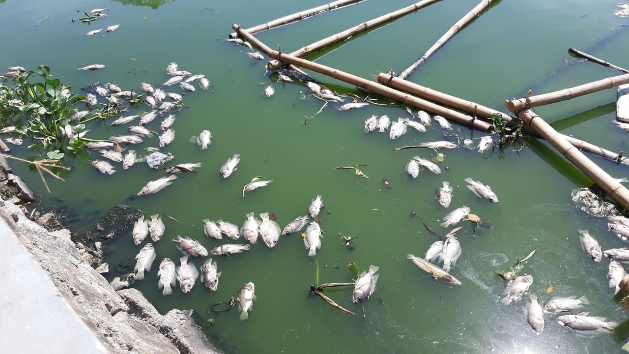 Đà Nẵng: Cá chết hàng loạt, nổi lềnh bềnh trên hồ Thạc Gián - Ảnh 4.
