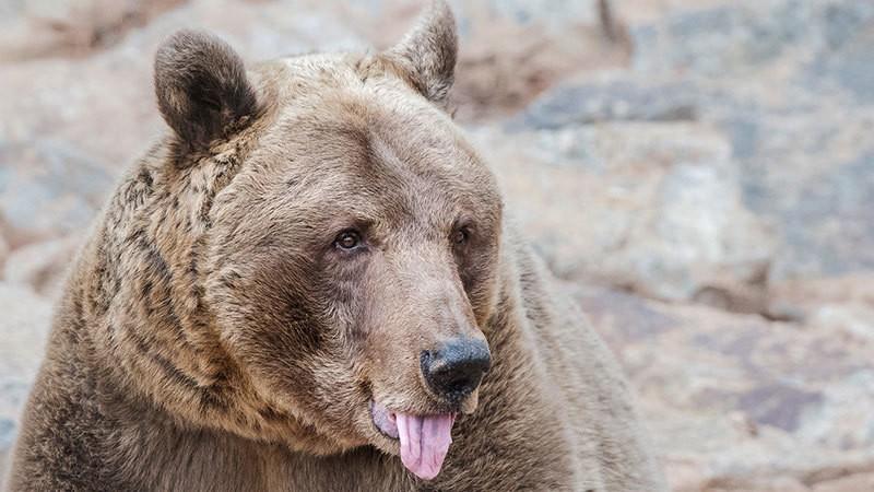 Người đàn ông cắn đứt lưỡi gấu trong trận chiến sống mái - Ảnh 1.