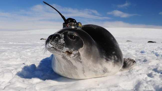 Những con hải cẩu gắn cảm biến giúp khoa học giải mã bí ẩn ở Nam Cực - Ảnh 1.