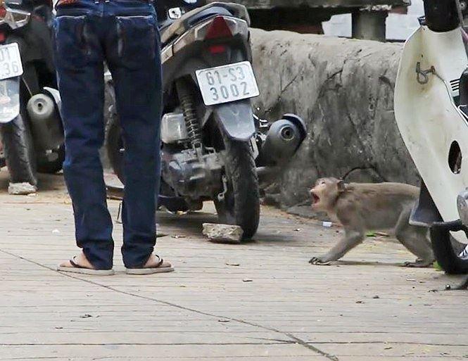 Bình Dương: Sau vụ hổ cắn lìa tay, lại xuất hiện khỉ cắn người - Ảnh 3.