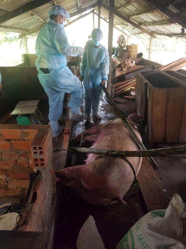 Cần Thơ tiêu hủy hơn 7.700 con heo sau một tháng dịch tả - Ảnh 1.